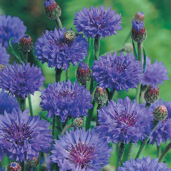 Cornflower Blue Ball Seeds