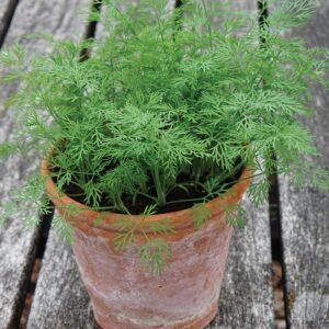 Dill (Dwarf) Nano Herb Seeds