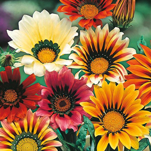 Gazania Sunshine Mixed Seeds