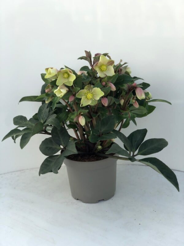 Helleborus 'Winter Darling'