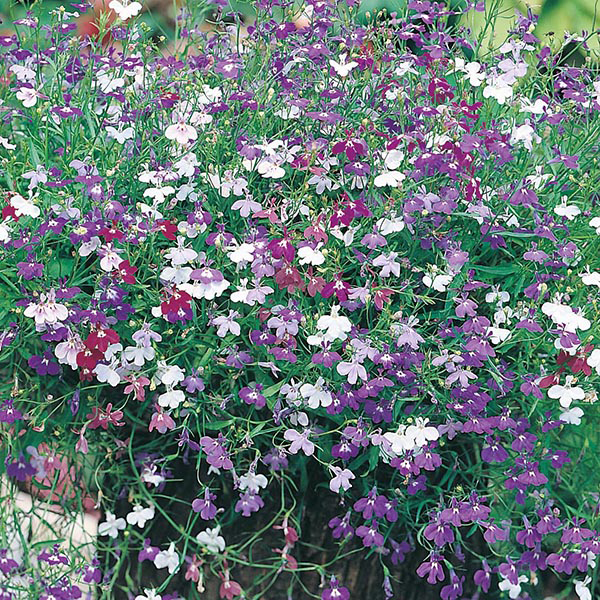 Lobelia Cascade Mixed Seeds.jpg