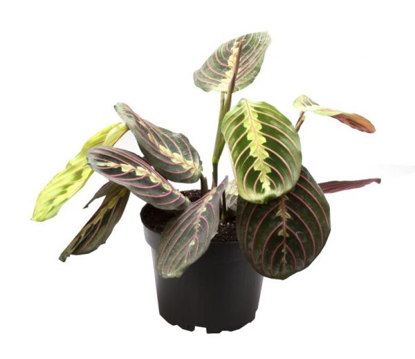 Maranta leuc. 'Red Stripe