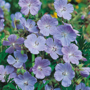 Meadow Cranesbill Seeds