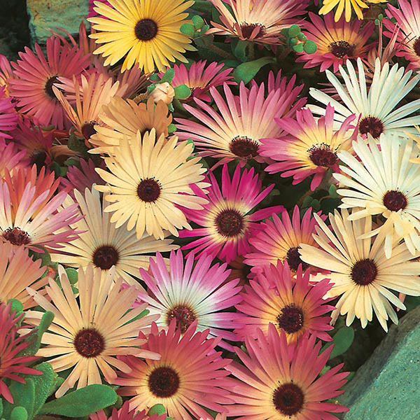 Mesembryanthemum Livingstone Daisy Mixed Seeds