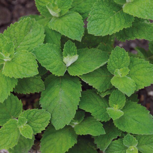 Mint Applemint Herb Seeds