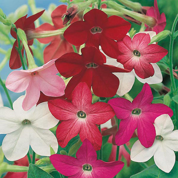 Nicotiana Sensation Mixed