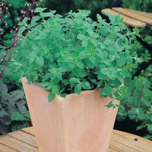 Oregano Greek Seeds