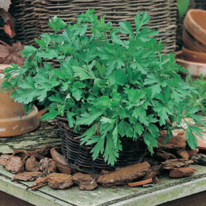 Parsley Plain Leaved 2 Seeds