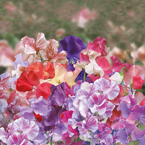 Sweet Pea Big Top Seeds