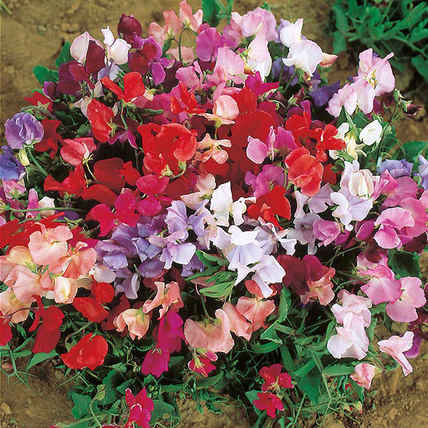 Sweet Pea Dwarf Explorer Mixed Seeds