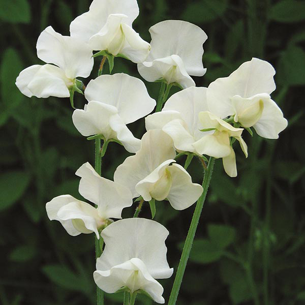Sweet Pea Juliet Seeds