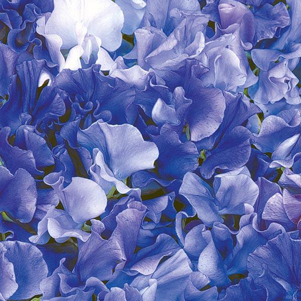 Sweet Pea Singing the Blues Seeds