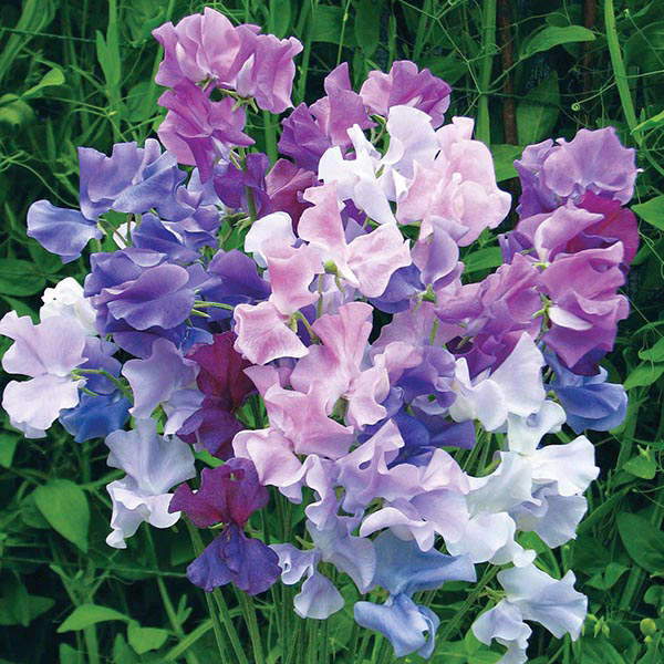 Sweet Pea Twilight Seeds
