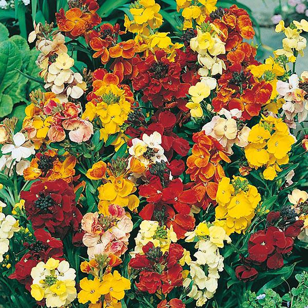 Wallflower Monarch Fair Lady Mix