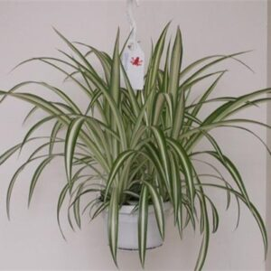Chlorophytum comosum 'Vittatum'