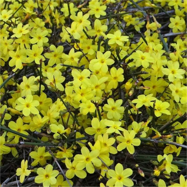 Jasminum nudiflorum 2