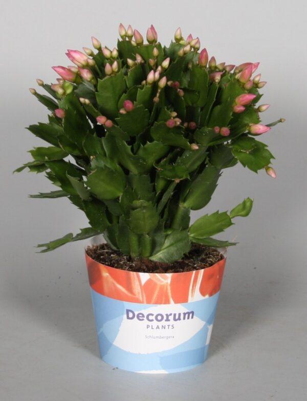 Schlumbergera Red (Christmas Cactus)