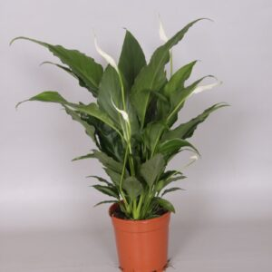 Spathiphyllum 'Sweet Chico'