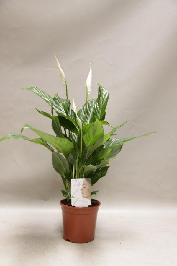 Spathiphyllum 'Sweet Silvio'