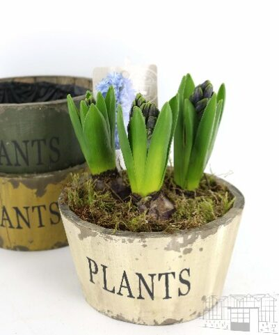 HYACINTH 3 PER WOODEN AGED POT
