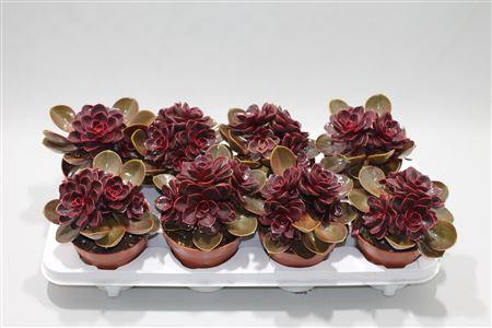 Echeveria Red Ruby Bouquet