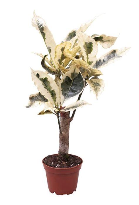 Codiaeum variegatum 'Tamara' (Croton)