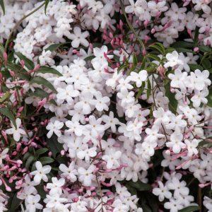 Jasminum polyanthum 2