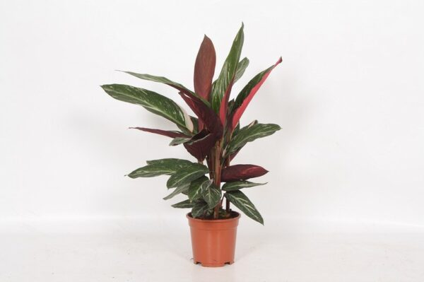 Calathea 'Magic Star'