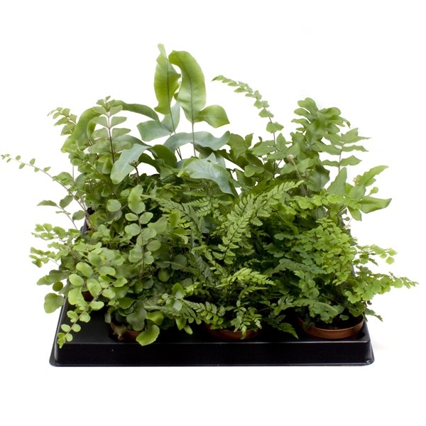 Fern mixed 4 sort mini