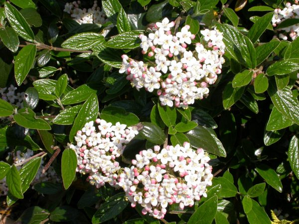 Viburnum x burkwoodii (Burkwood Viburnum)