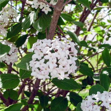 Viburnum x juddii judd viburnum