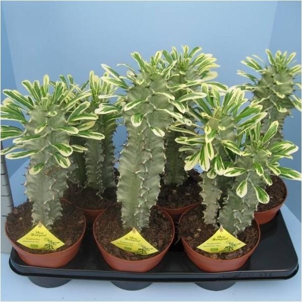 Euphorbia abyssinica variegata