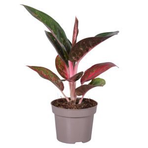 Aglaonema DARK PINK STAR