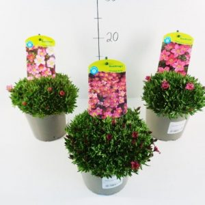 Saxifraga 'Alpino' mix