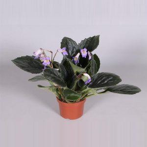 Streptocarpus 'Purpelina' (Cape Primrose)