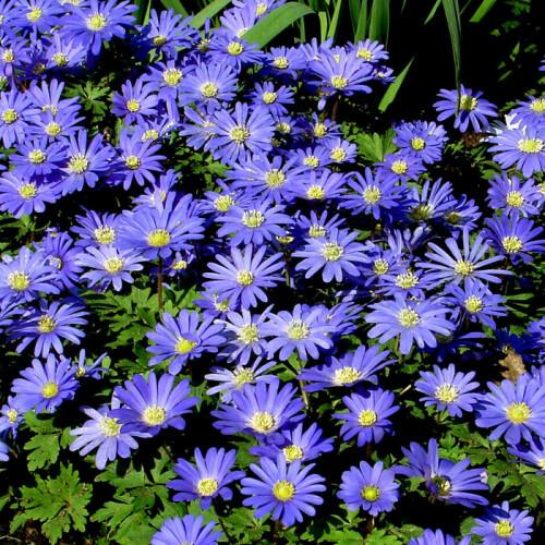 Anemone blanda 'Blue Shades' 2