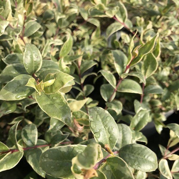 Myrtus communis Variegata 2