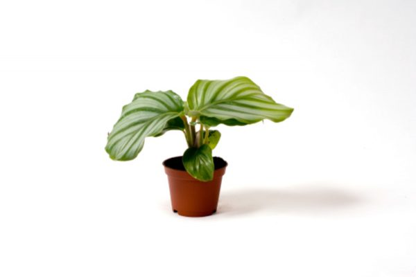 Calathea orbifolia mini