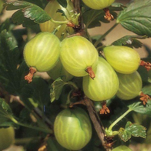 Ribes u.-c. 'Hinnonmäki Grön'