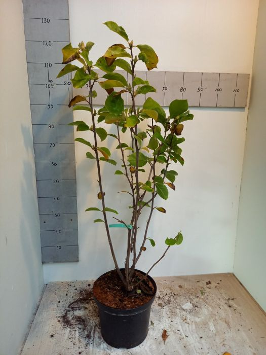 Magnolia 'Charles Coates' 2