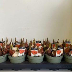 Tulipa orange
