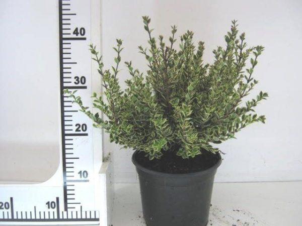Myrtus communis 'Variegata