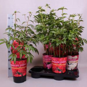 Paeonia lact. 'Longlife' mix