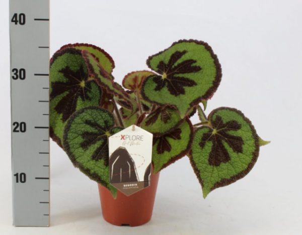 Begonia masoniana 'Mountain'