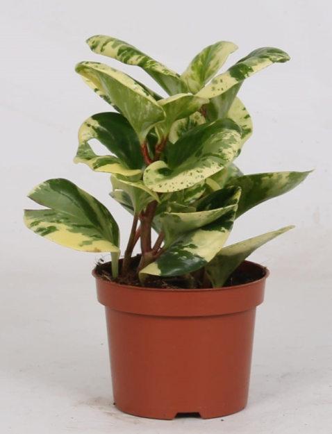 Peperomia Obtisufolia Variegata