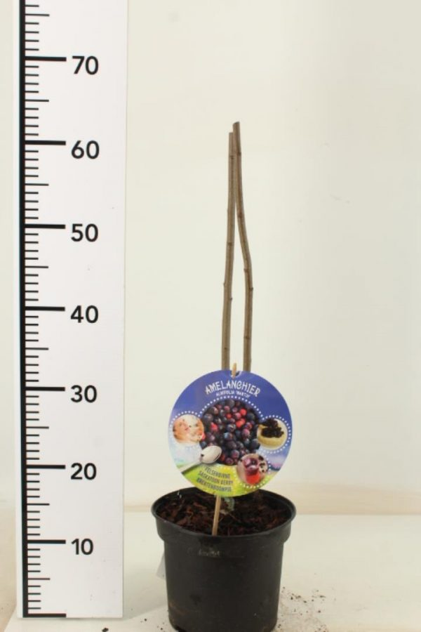 Amelanchier alnifolia Martin