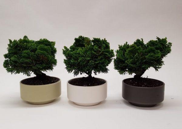 Chamaecyparis - bonsai