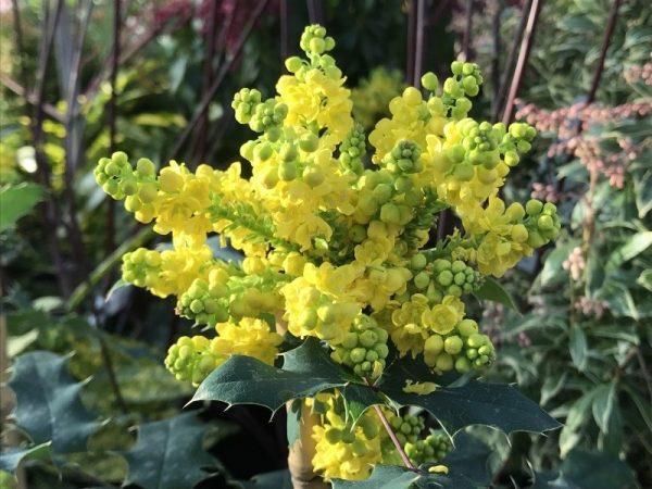 Mahonia x wagneri 'Pinnacle' (Oregon Grape)