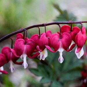 Lamprocapnos / Dicentra spectabilis 'Valentine' (Bleeding Heart)