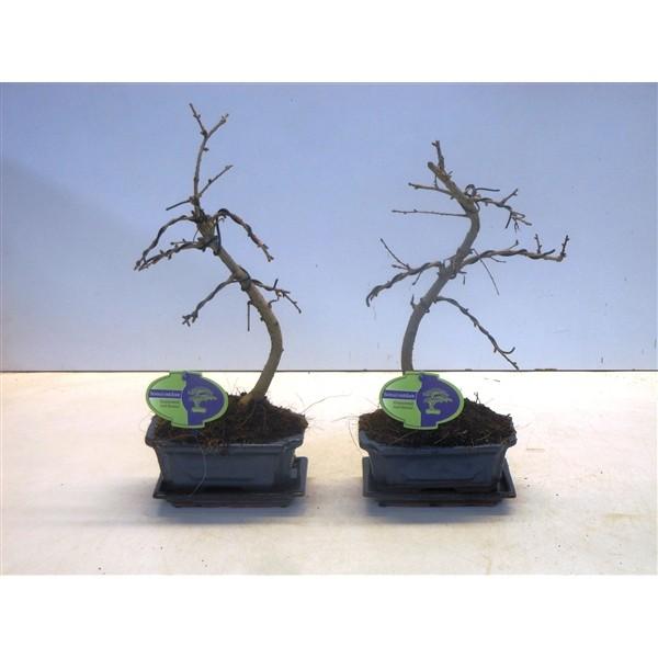 Pseudolarix bonsai